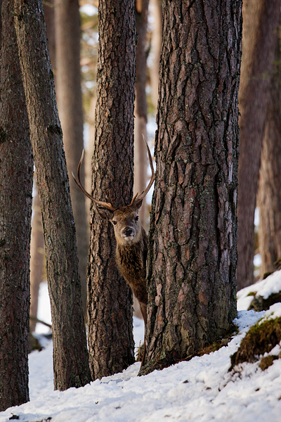 RED DEER STAG FEBRUARY 2019