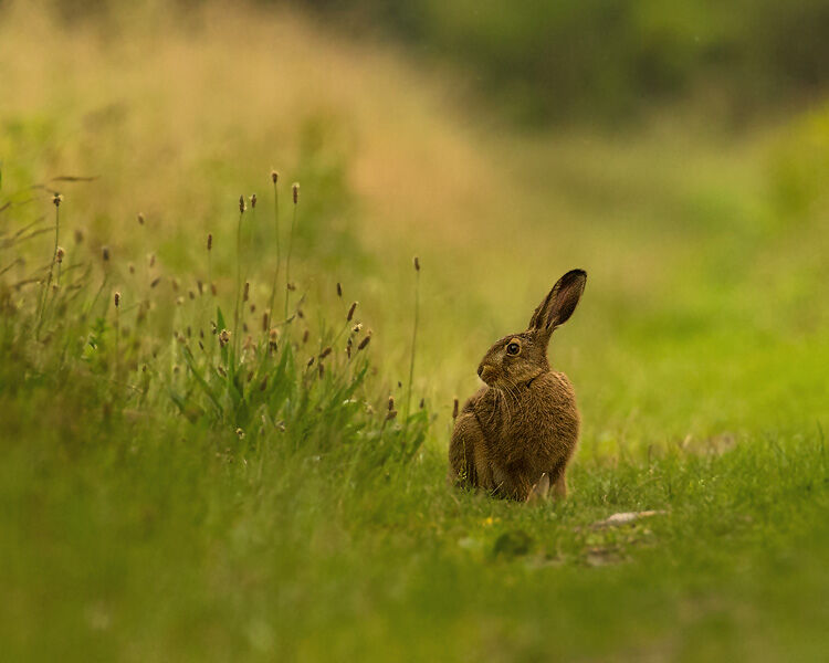 YOUNG BROWN HARE 2020