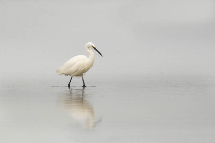 LITTLE EGRET DECEMBER 2016