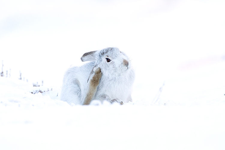MOUNTAIN HARE FEBRUARY 2019
