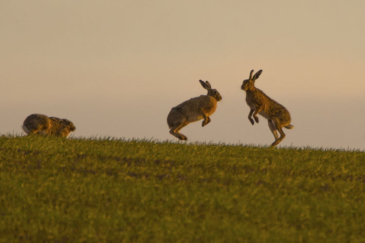 BROWN HARES MAY 2016