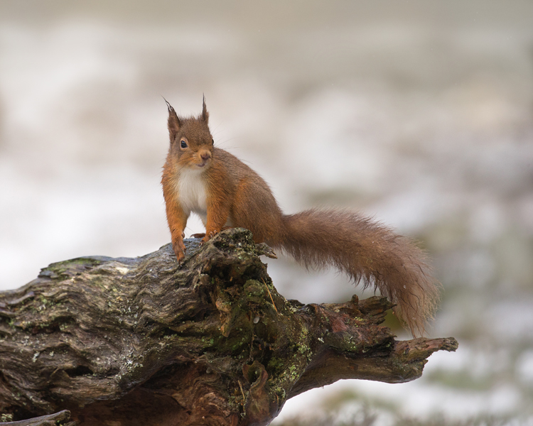RED SQUIRREL FEBRUARY 2019
