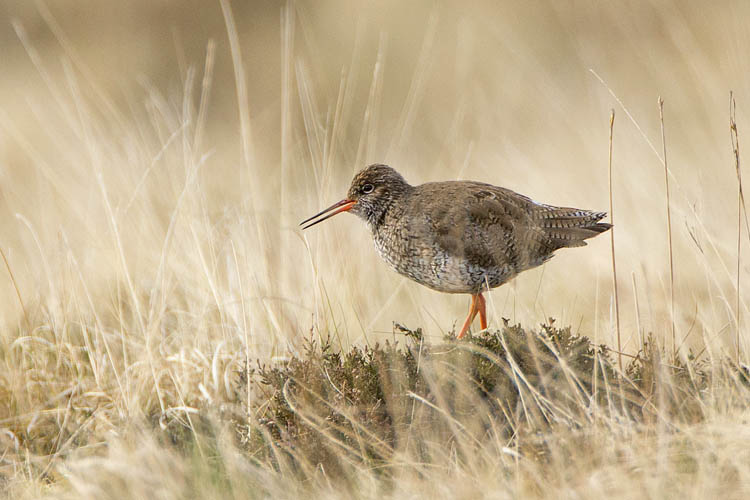 REDSHANK MAY 2016