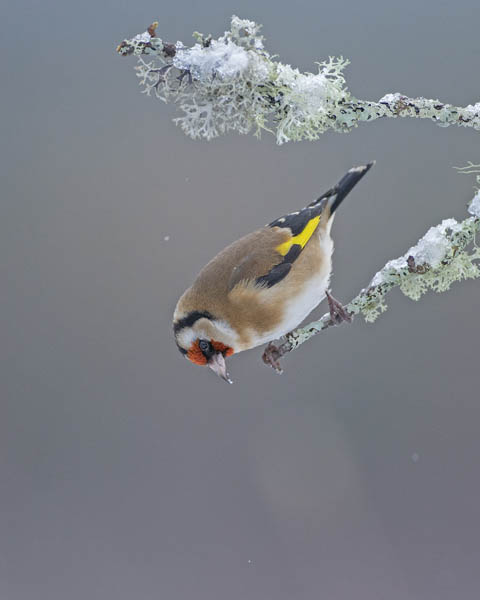 GOLDFINCH JANUARY 2017