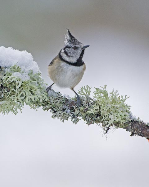 CRESTED TIT JANUARY 2017