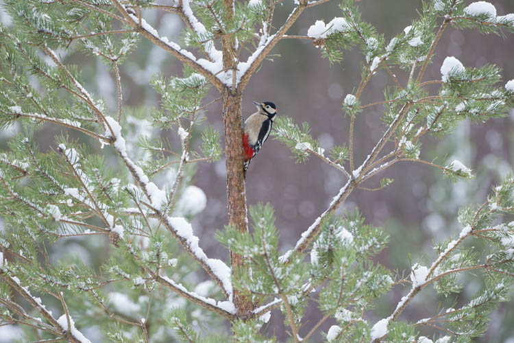 GREATER SPOTTED WOODPECKER JANUARY 2017