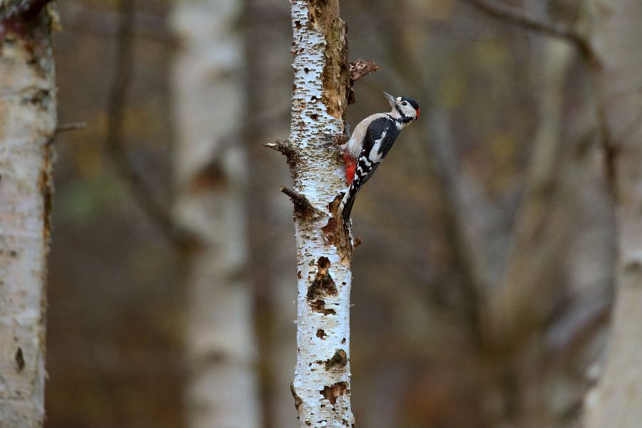 GREATER SPOTTED WOODPECKER OCTOBER 2017