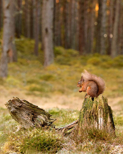 RED SQUIRREL FEBRUARY 2020