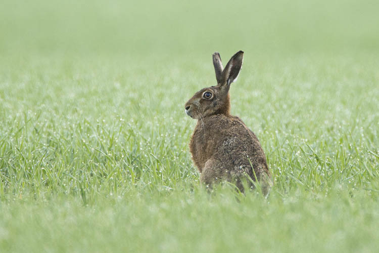 BROWN HARE MAY 2016