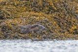 Otter M