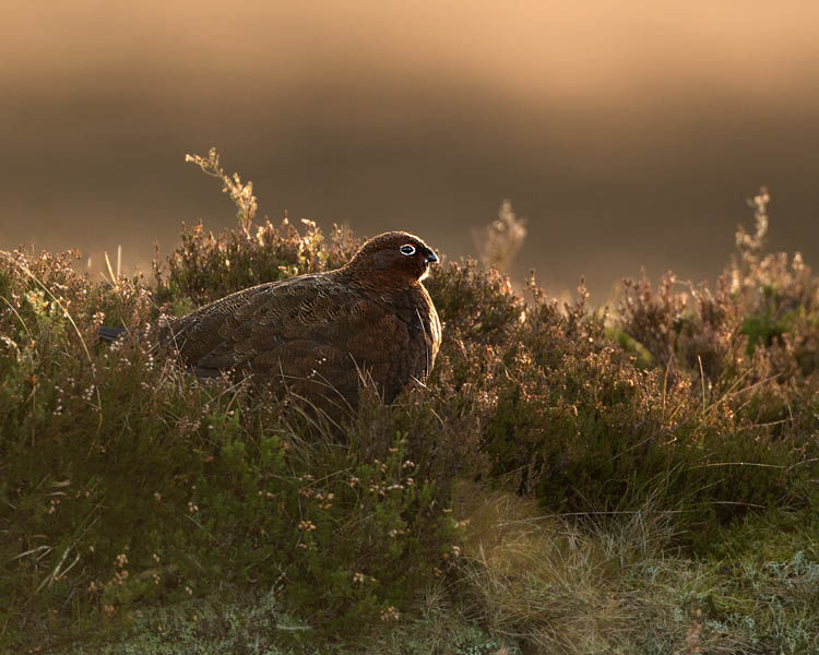 RED GROUSE FEBRUARY 2020