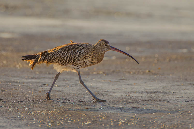 CURLEW FEBRUARY 2017