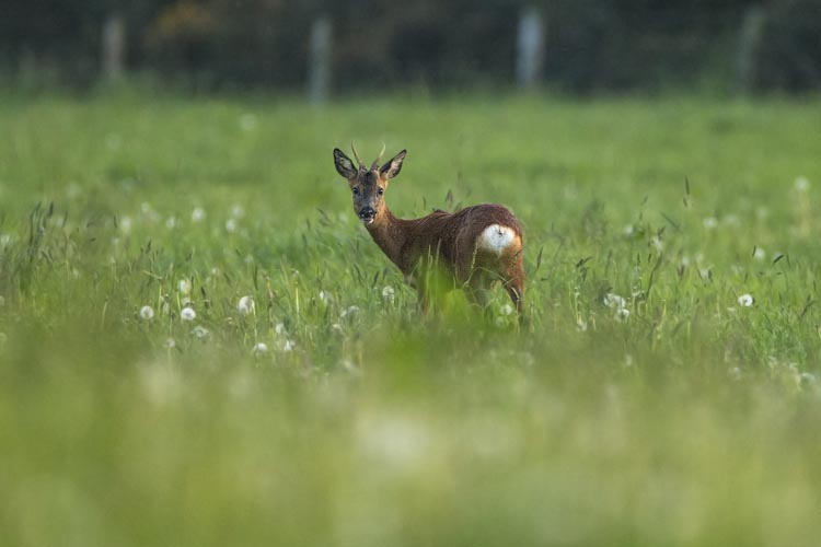 ROE DEER JUNE 2016