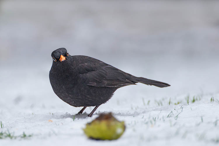 BLACKBIRD DECEMBER 2017