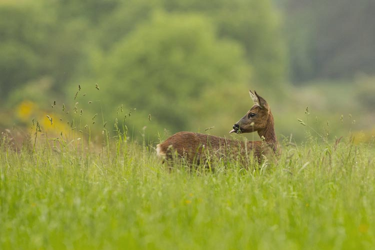 ROE DEER JUNE2016