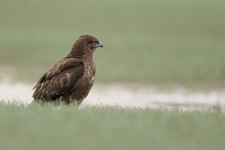 BUZZARD JANUARY 2016