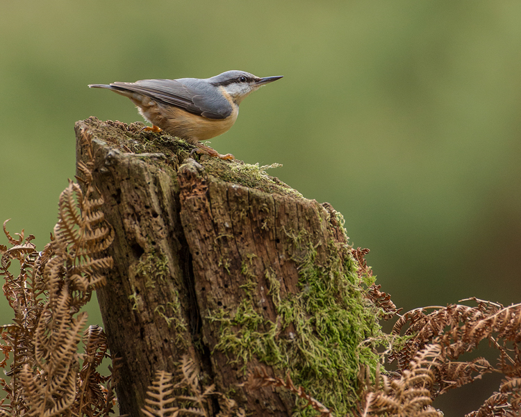 NUTHATCH OCTOBER 2018