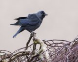 JACKDAW MARCH 2017