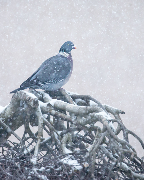 WOODPIGEON MARCH 2018