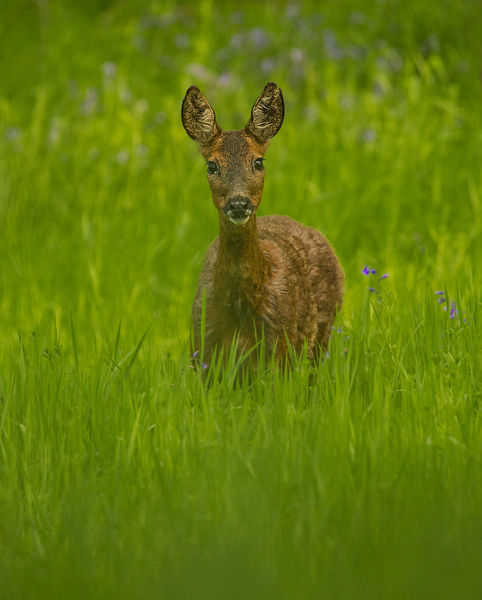 FEMALE ROE DEER MAY 2019
