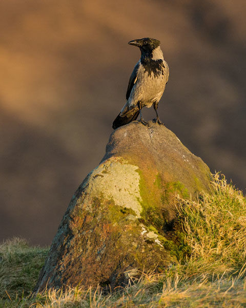 HOODED CROW MARCH  2020