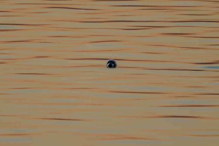 COMMON SEAL JUNE 2018