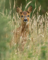 ROE FAWN AUGUST 2018