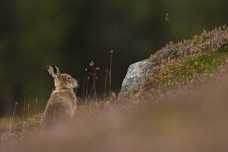 MOUNTAIN HARE AUGUST 2016