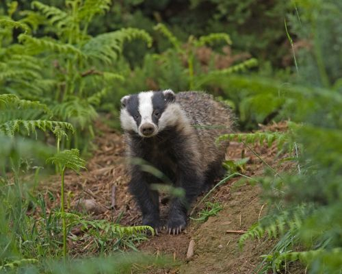 Badger leaving sett