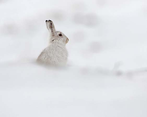 Mountain Hare February 2013