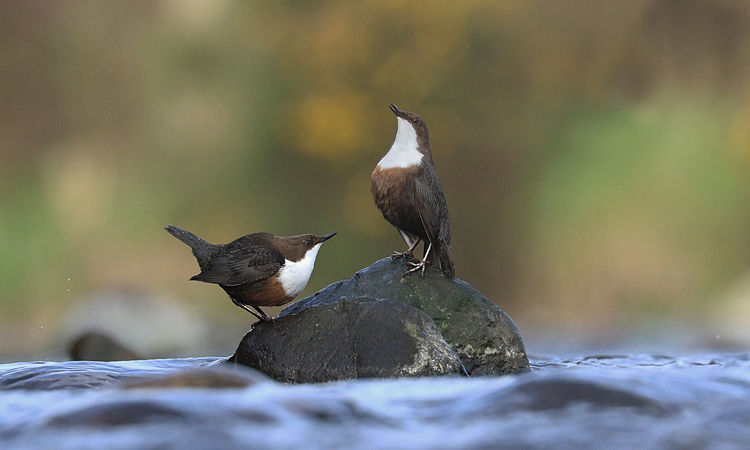 DIPPERS APRIL 2019