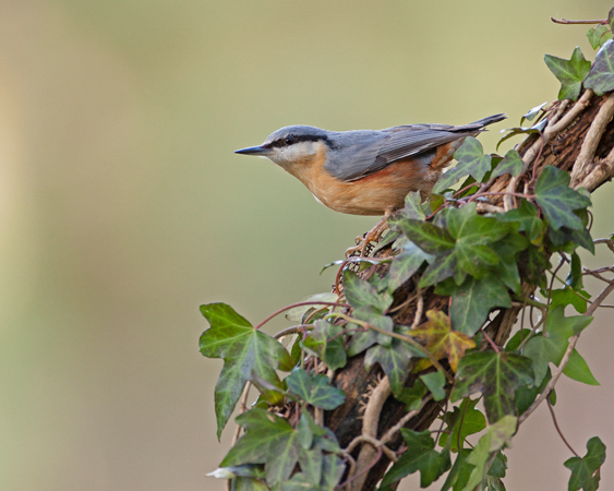 Nuthatch on ivy stump