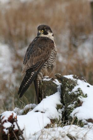 Peregrine Falcon 008
