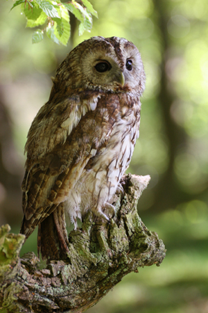 Tawny Owl 009