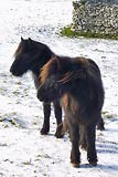 Fell Ponies, Haweswater