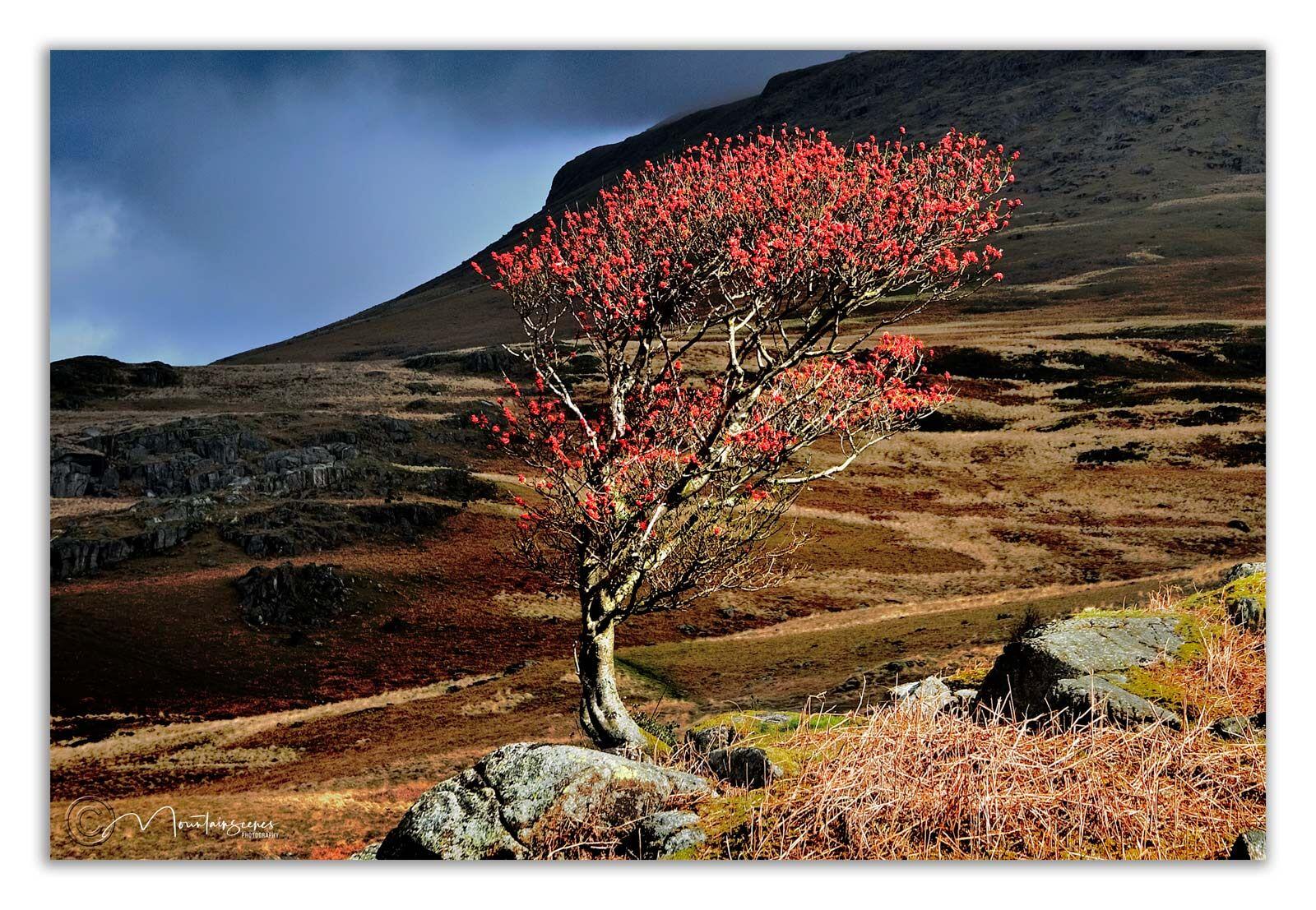 Lone Rowan tree, Eskdale