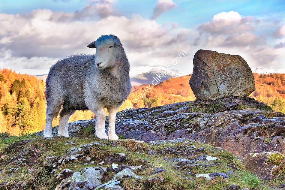 Tarn Hows Sheep
