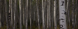 Aspen trees, Jasper National Park
