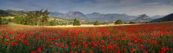 Meadow of poppies in Haute Provence