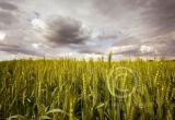Wheat ......