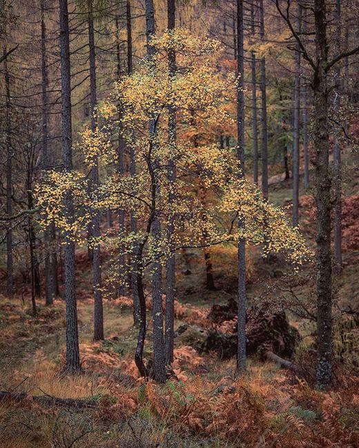 'Birch in Borrowdale'