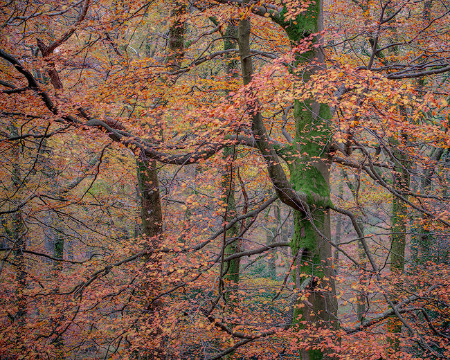'Borrowdale beech trees'