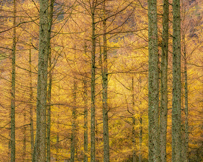 'Buttermere Larches'