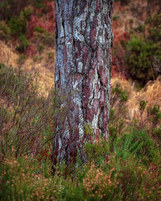 'Pine bark study'