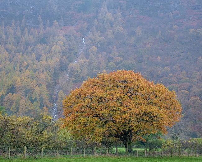 'Buttermere Oak Tree #1'
