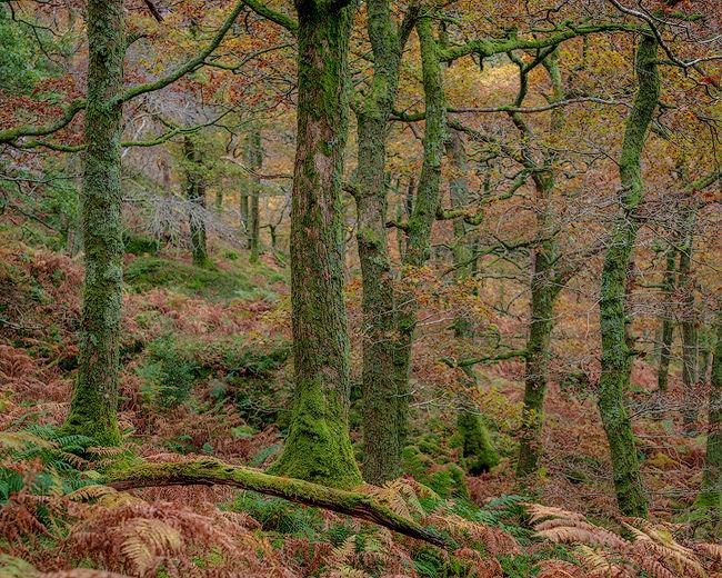 'Oak Trees at Lanthwaite Woods'