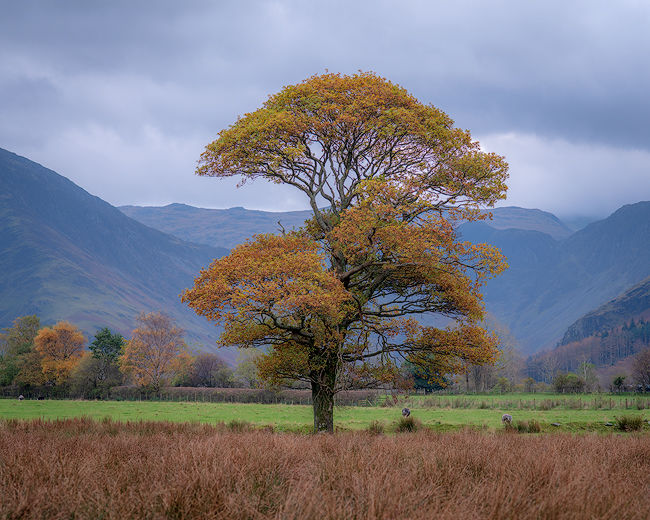 'Buttermere Oak Tree #2'