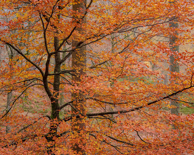 'Borrowdale Beech #2'