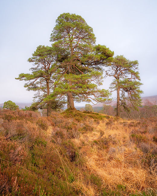 'Tulla pine'