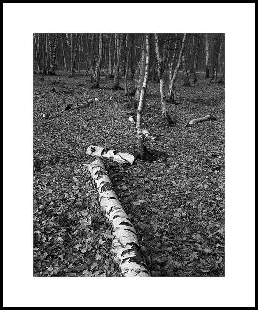 'Birch #1'